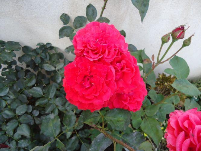 rosa flores naturaleza jardin wallpaper