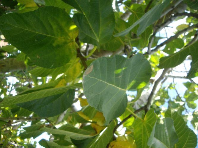 hojas verde higuera naturaleza wallpaper