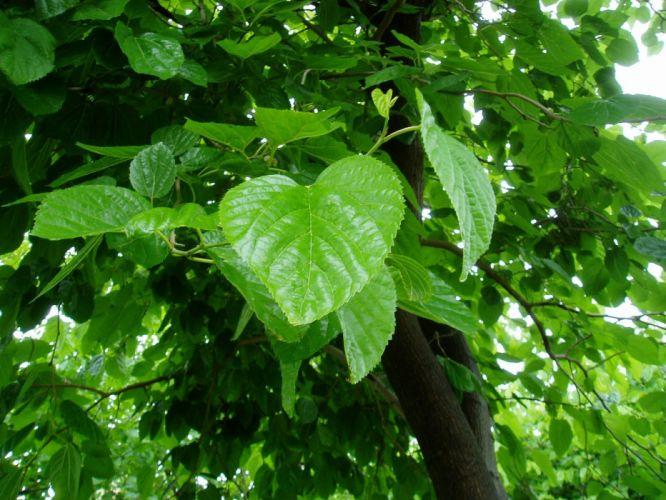 morera hojas verde naturaleza wallpaper