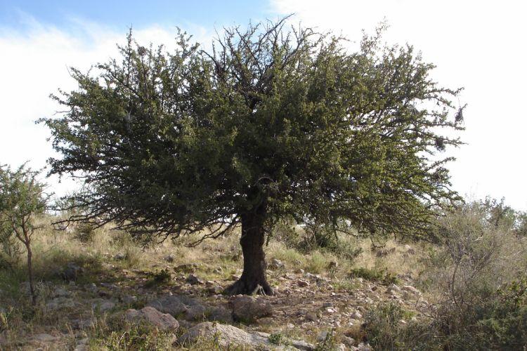 arbol algarrobo mediterraneo wallpaper