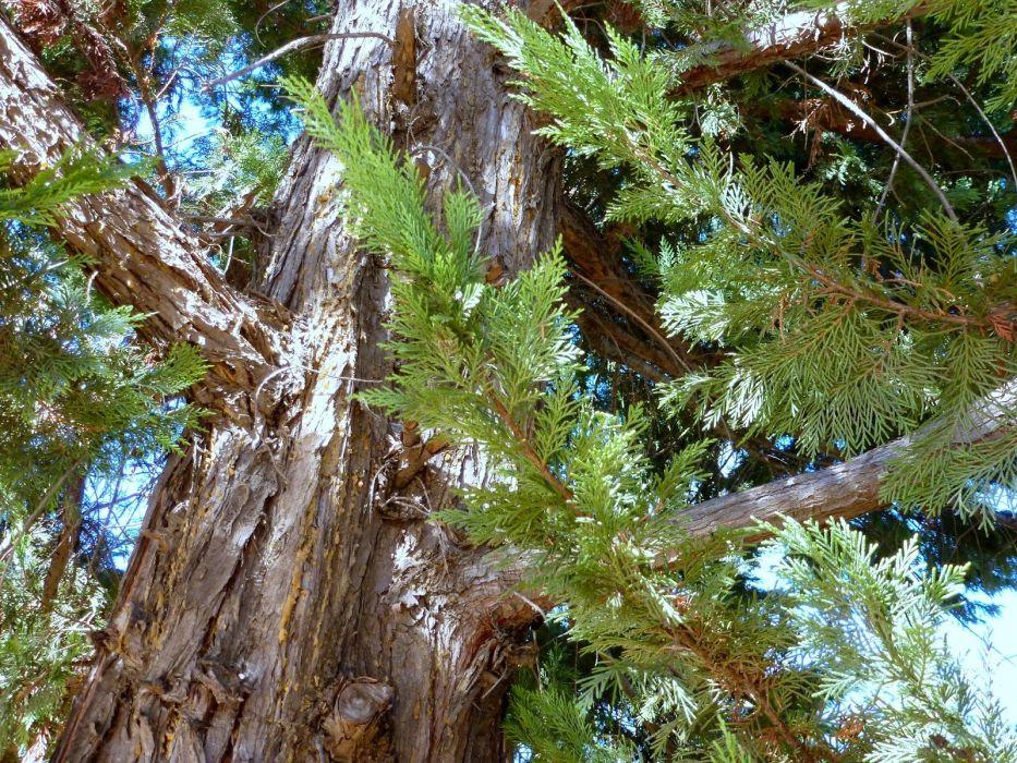 arbol cipres naturaleza wallpaper