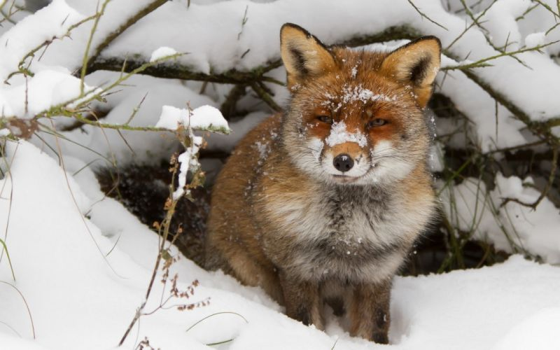 nature winter snow animals cold foxes wallpaper