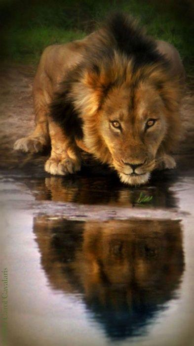 lion art animal wallpaper