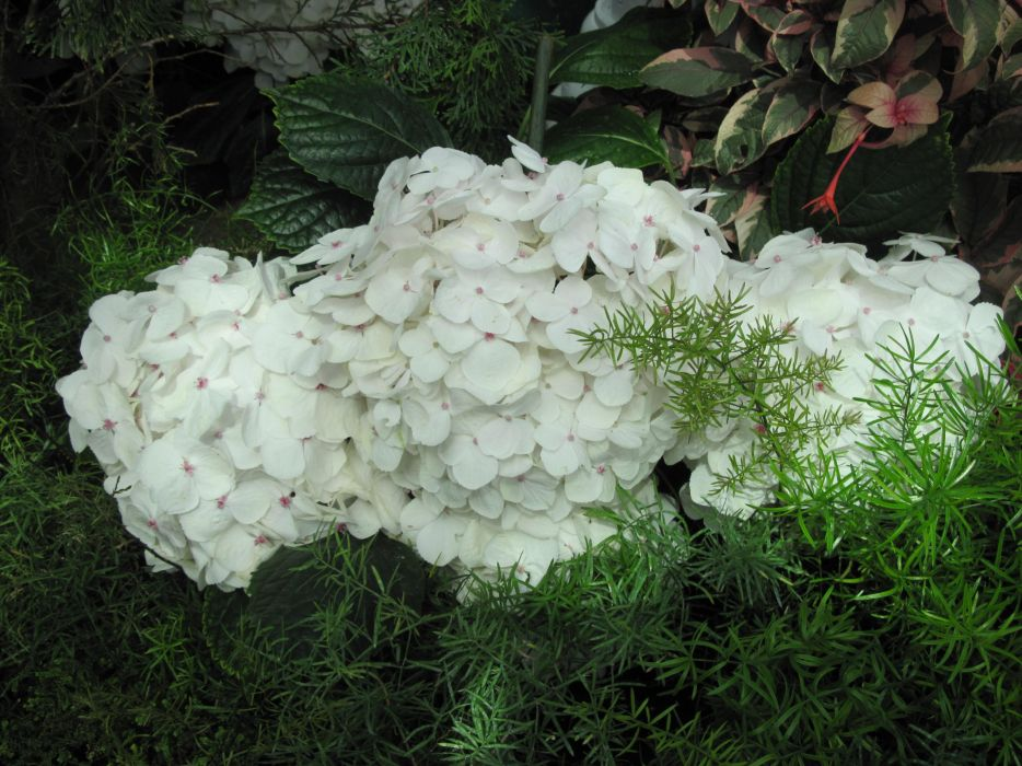 hydrangeas flowers photography garden white green wallpaper