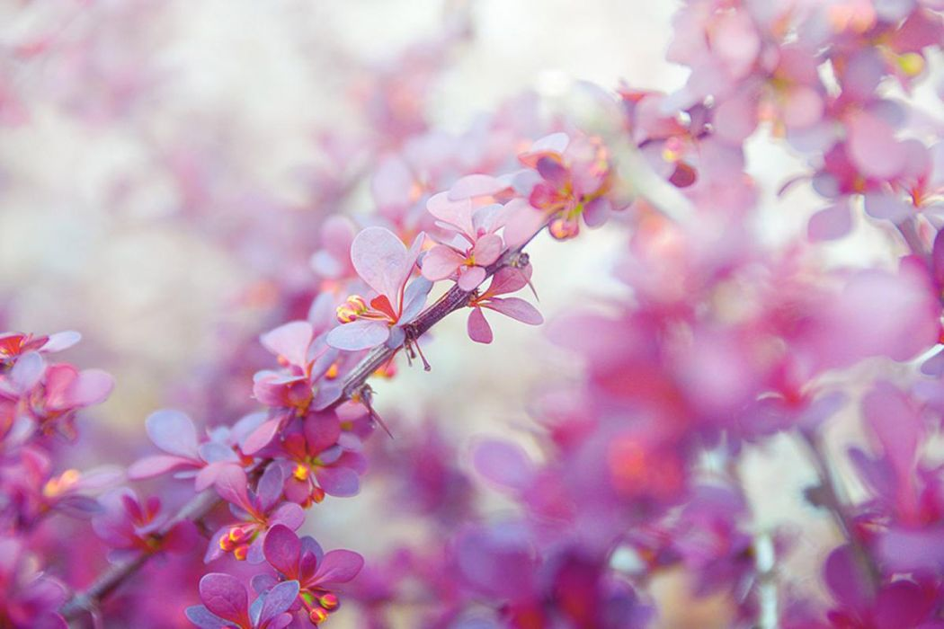 spring trees delicate soft pink flowers beauty wallpaper