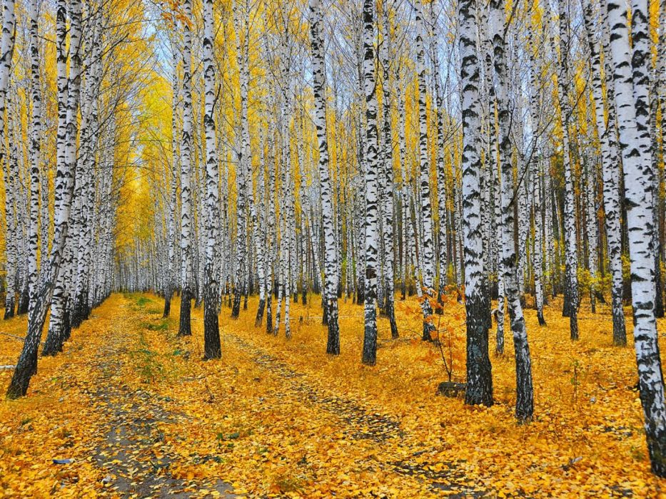 Autumn Forest Beautiful tree yellow wallpaper