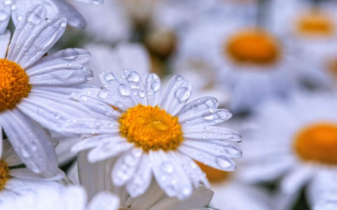Chamomile Flowers Dew Drops wallpaper