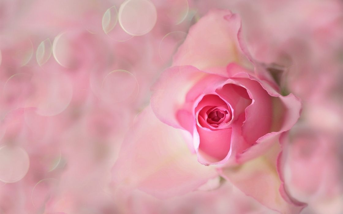 Rose Bud Pink Background wallpaper