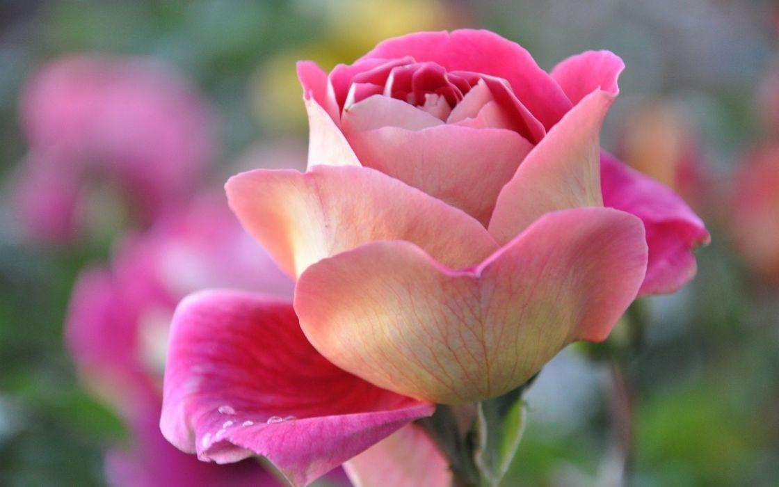 Pink Rose Beautiful Flower wallpaper