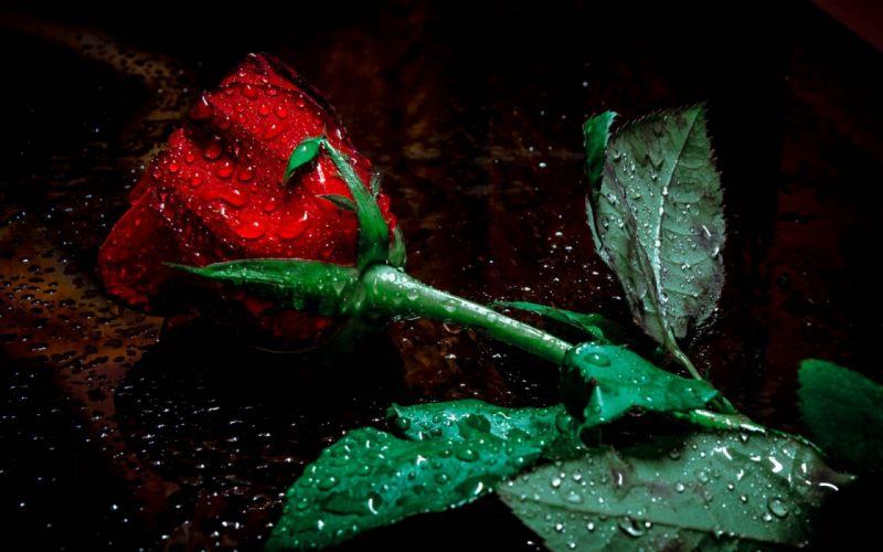 Red Rose Flower in Rain wallpaper