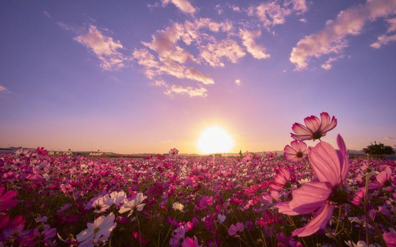 Pink Flower Field Sunrise wallpaper