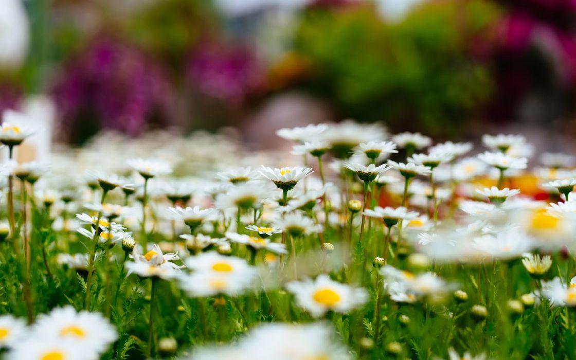 meadow flowers beauty wallpaper