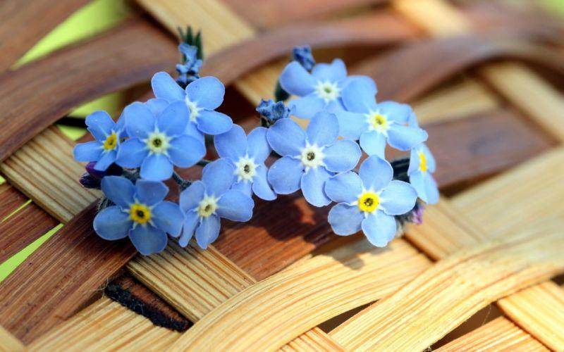 Myosotis Blue Flowers wallpaper