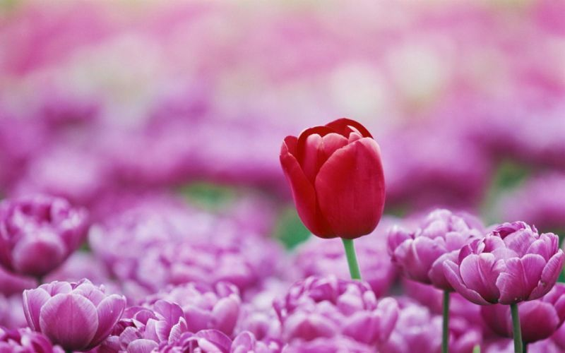 Red Tulip Cool Flowers wallpaper