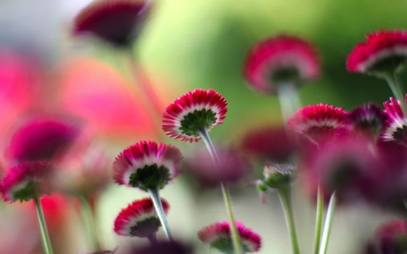 Small Red Flowers wallpaper