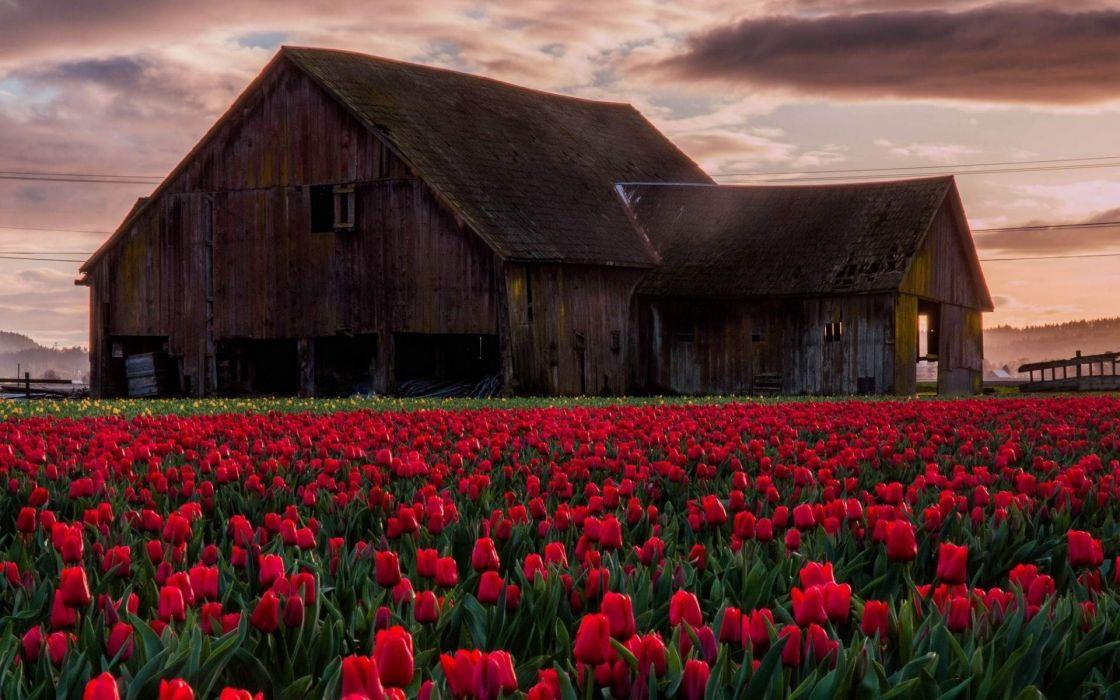 Old Barn in Tulip Field Landscape wallpaper