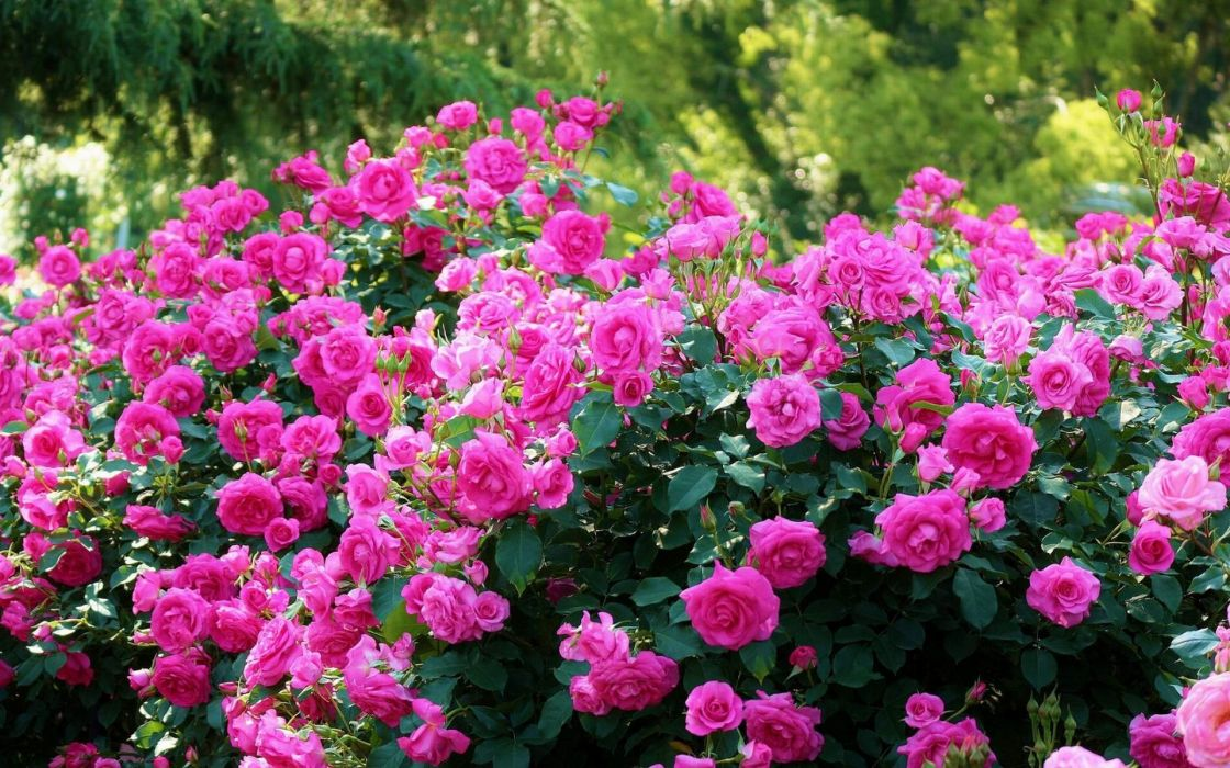 Roses Bush Bloom Flowes wallpaper