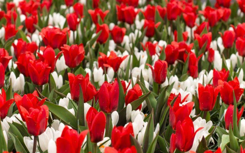 Red Tulips White Crocus Flowers wallpaper