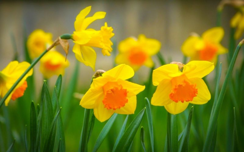 Narcisse Yellow Flowers wallpaper
