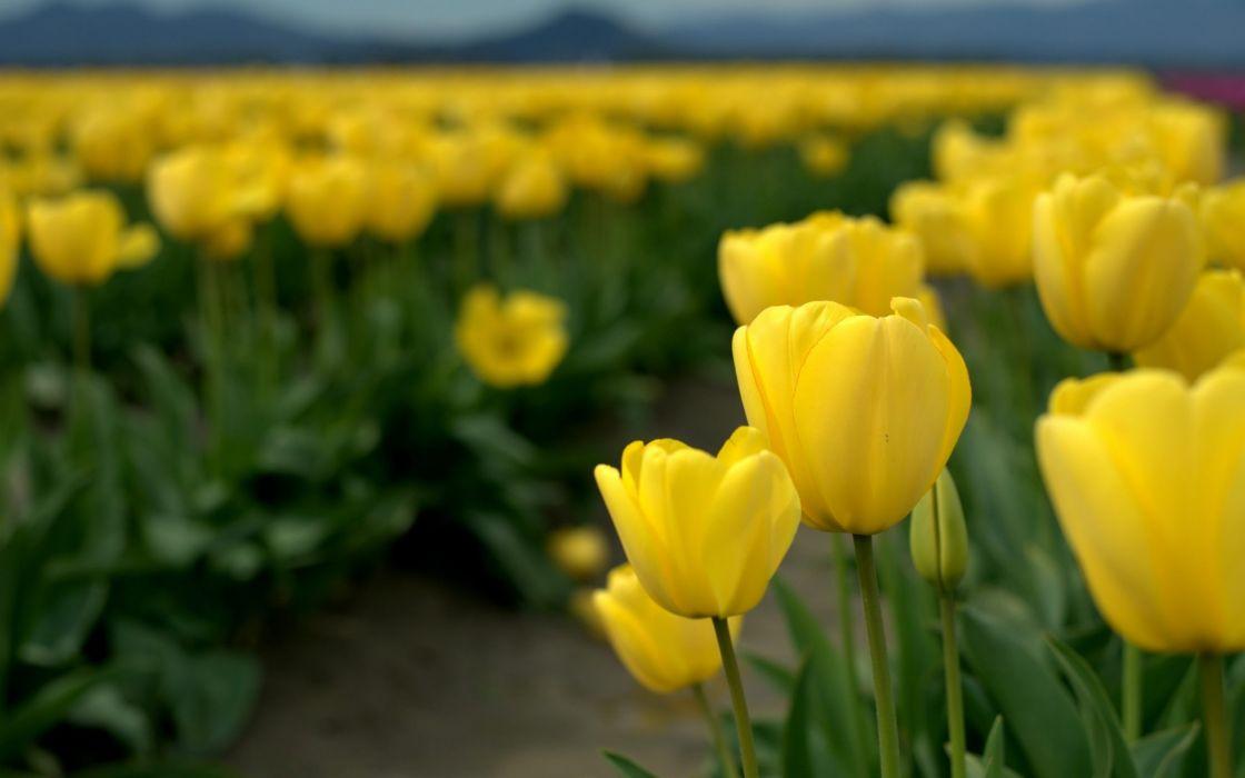Yellow Tulips Flower Field wallpaper