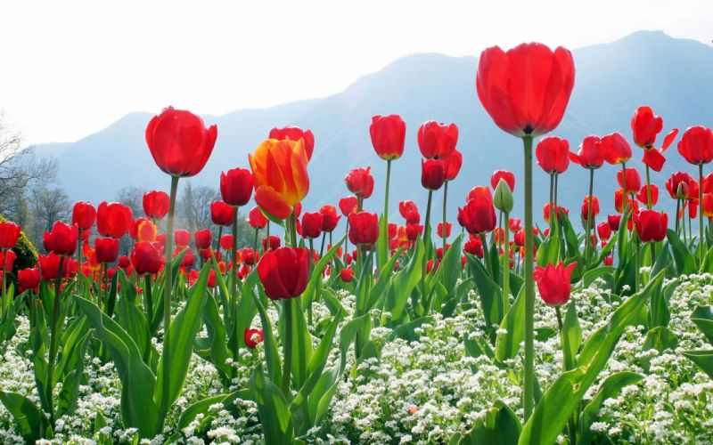 Red Tulip Field Of Flowers wallpaper