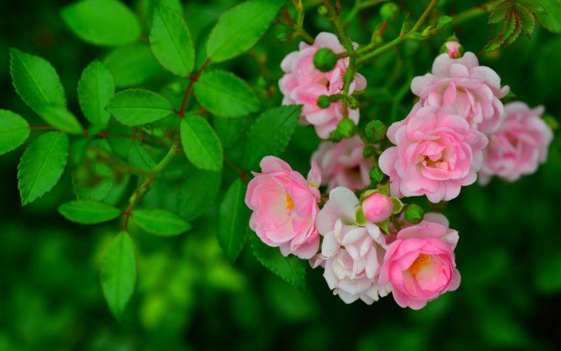 Rosebuds and Green Leaves wallpaper