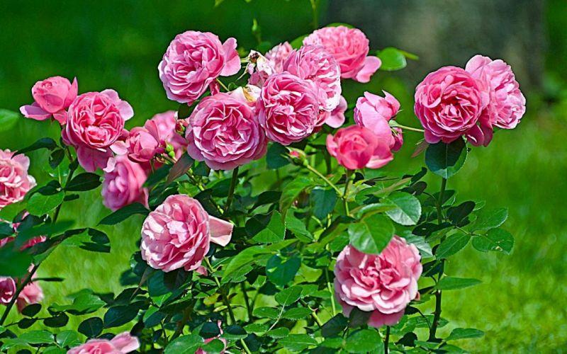 Blooming Roses wallpaper