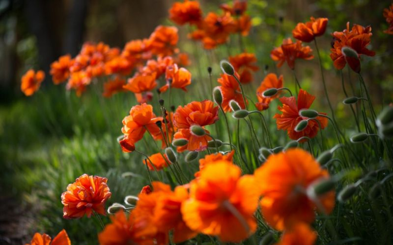 Buds and Blossoms Orange Flowers wallpaper