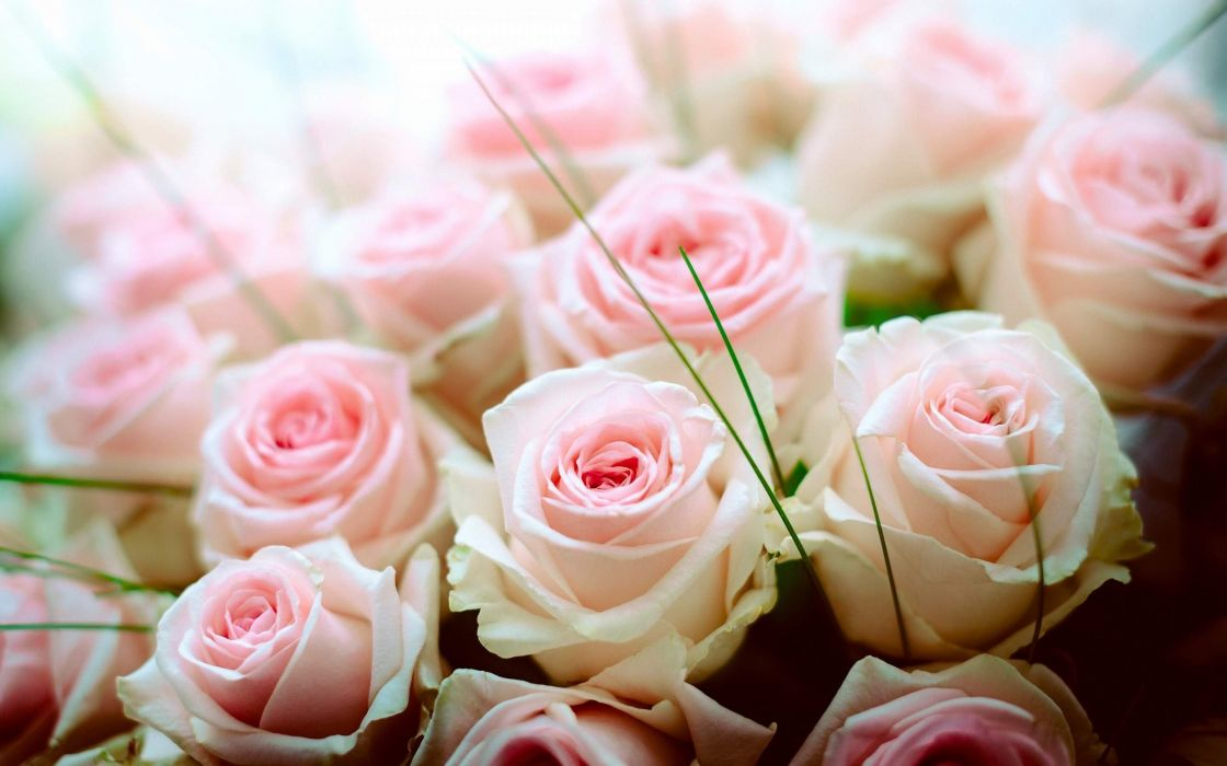 Pink And White Roses Wallpaper