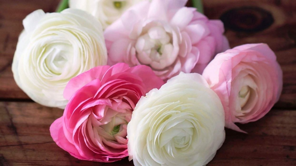 Cool Roses Flower wallpaper