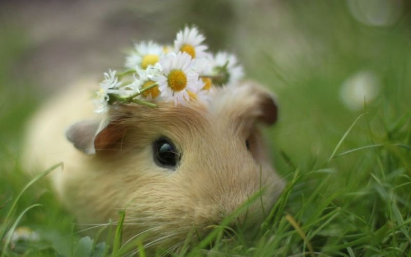 Cute Pig animal flower daisry wallpaper