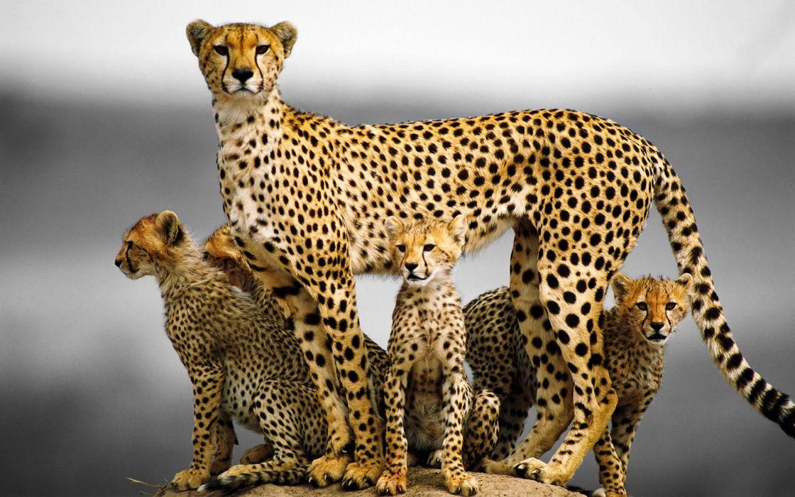 Cheetah Animal Family wallpaper