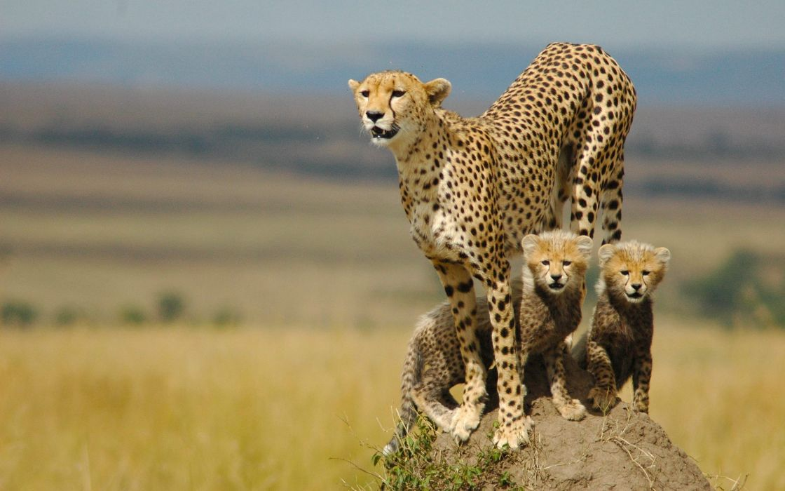 Cheetah Family animal wallpaper