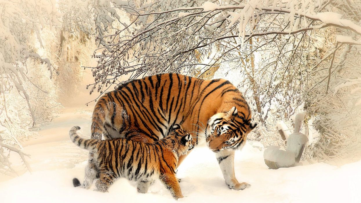 animal Siberian Tiger snow wallpaper