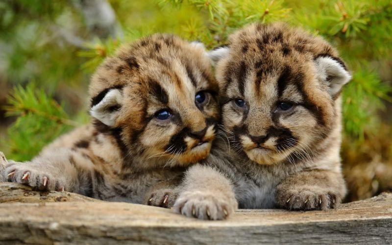 Cute cub baby lion fun animal wallpaper