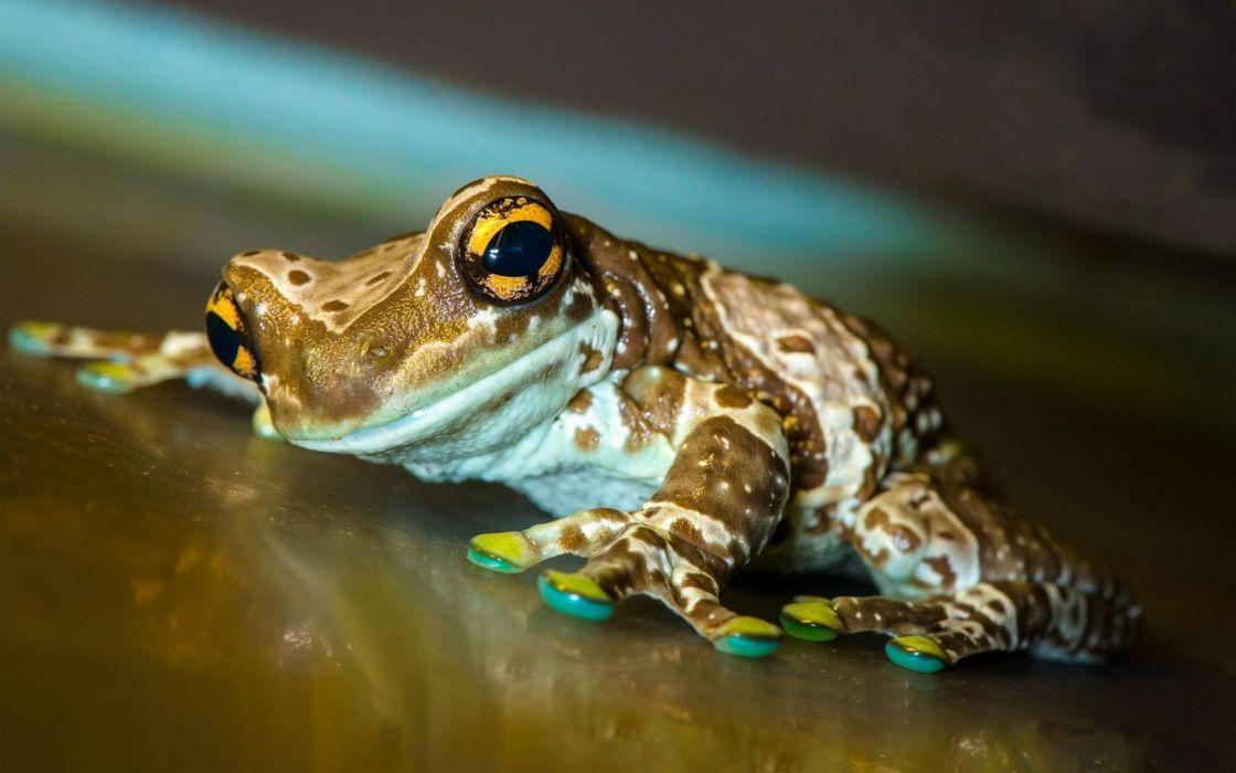 cute small frog animal wallpaper