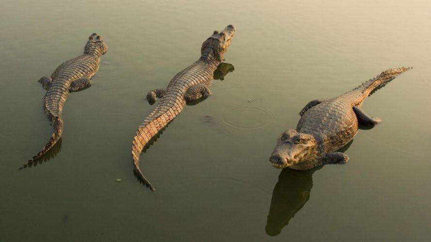 Crocodiles animal wallpaper