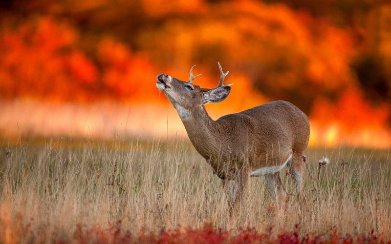 cute deer shouting sunset time wallpaper