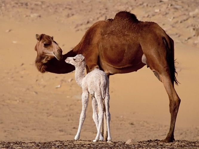 Cute baby camel and camel animal wallpaper
