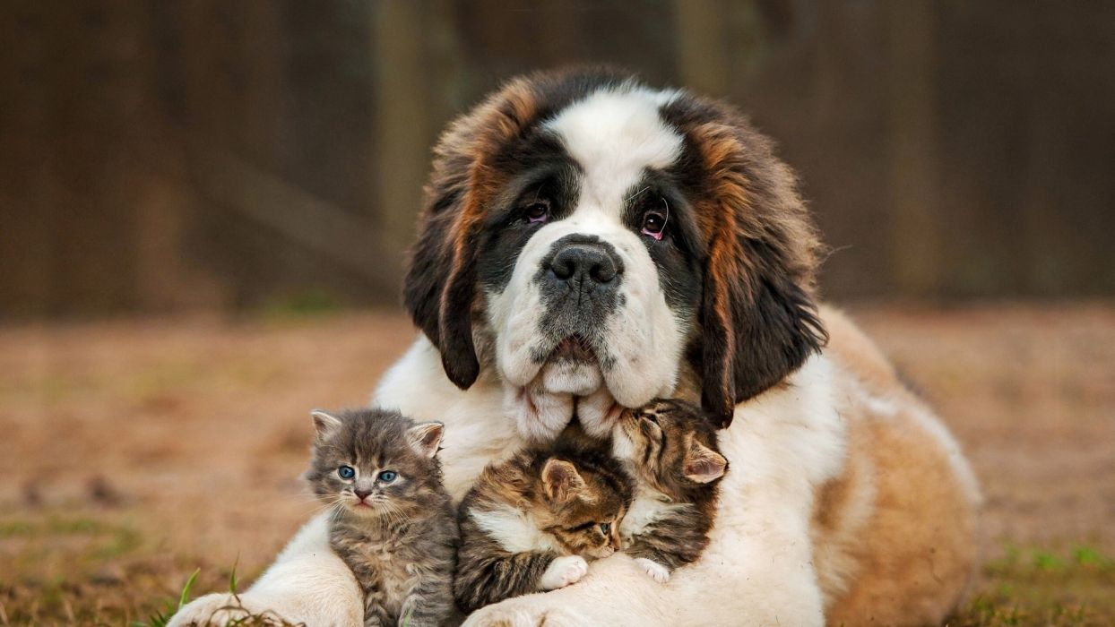 Cute Baby Cat And Big Dog Nice Animal Wallpaper 1920x1080 1084428 Wallpaperup