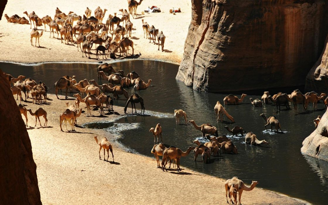Camels on Sahara desert bath and drink water from lake under mountain wallpaper