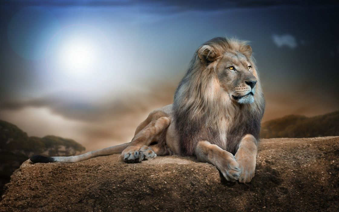 Big lion animal wallpaper