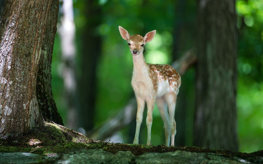 Beautiful cute baby of deer very innocent and lonely in forest very nice wallpaper