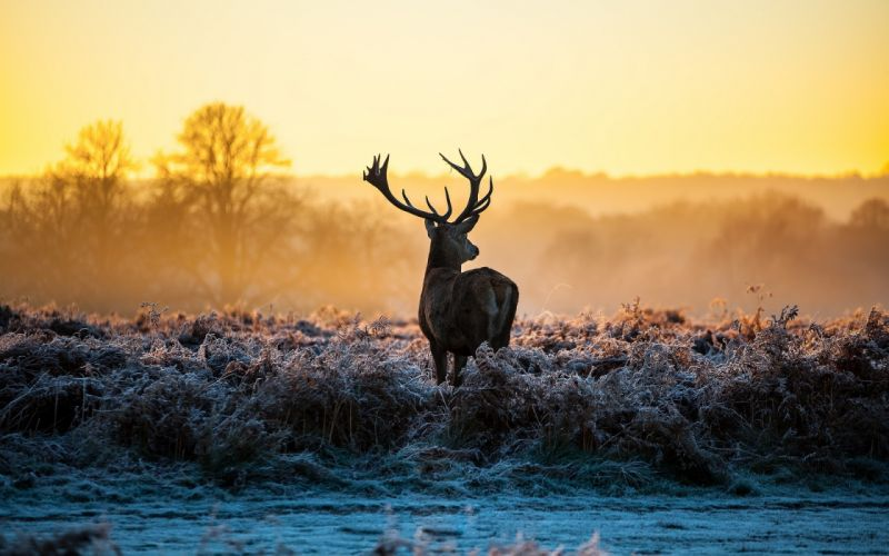 Beautiful deer animal in the forest sunset wallpaper
