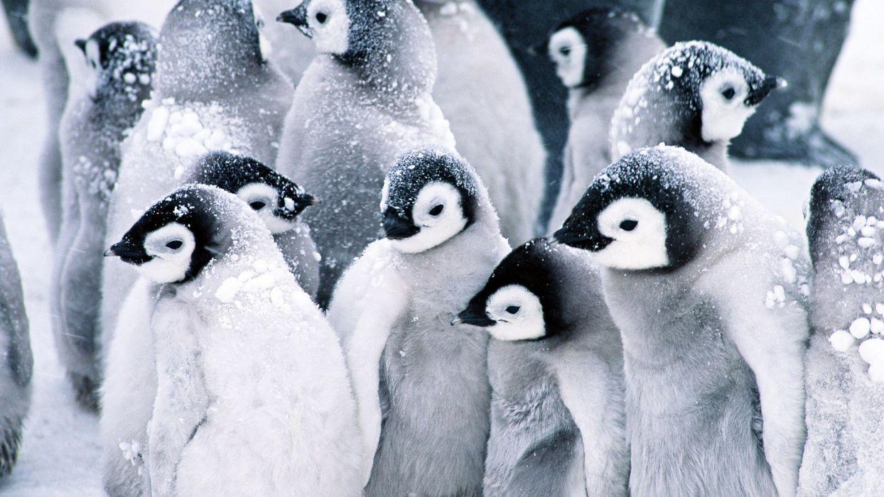 Beautiful white baby penguin in snow animal wallpaper