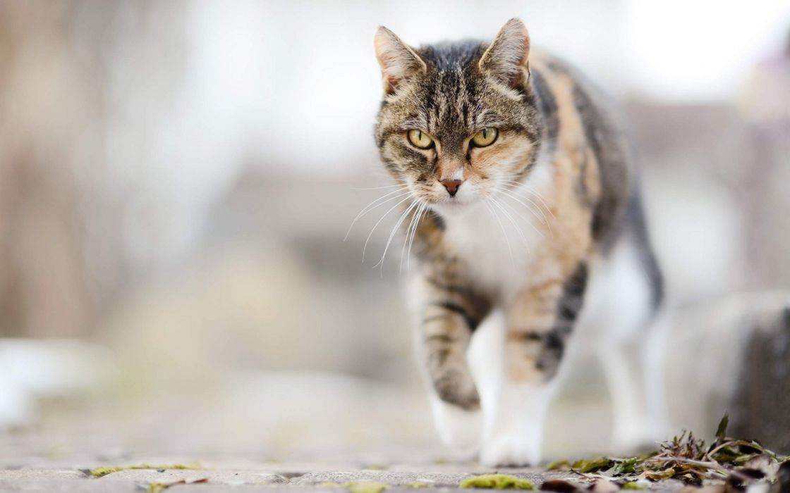 Awesome jump of wild cat superb animal wallpaper
