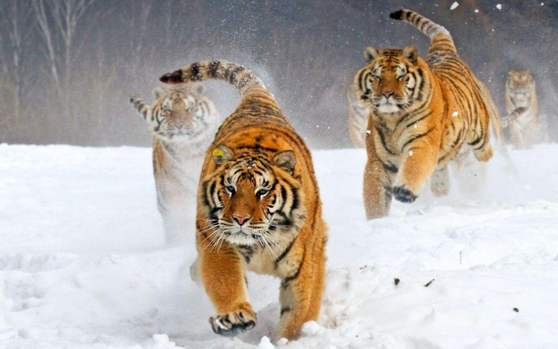 Asian tiger running and fun beautiful wallpaper