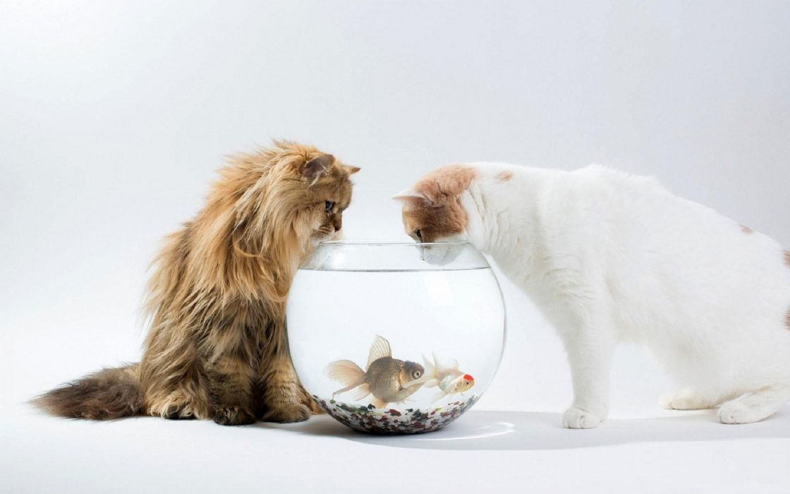 animal cute Two cat and fish wallpaper