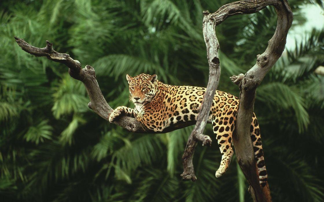 animal Jaguar on the tree amazing wallpaper