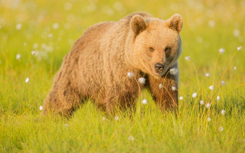Bear animal wallpaper